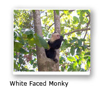 White Face Monky