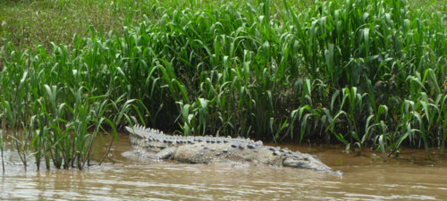 Tarcoles Crocodile Safari Tour