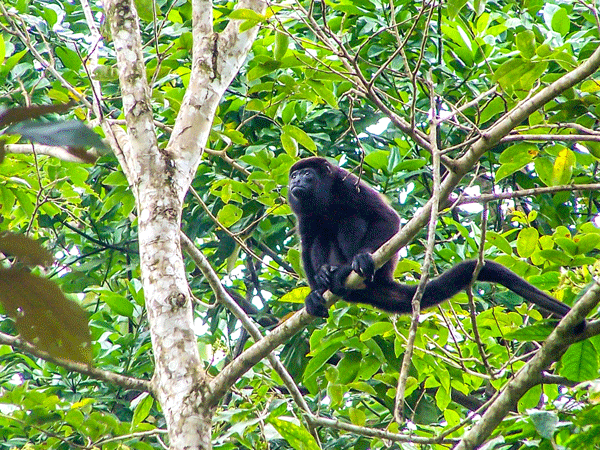 Howler Monky, Arenal Volcano Fortuna, San Carlos