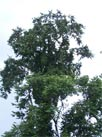 Costa Rica Tree  Limon